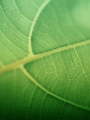 绿叶手机壁纸