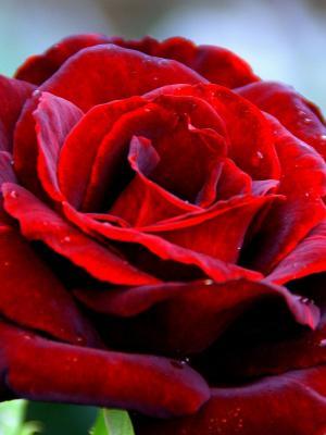 红玫瑰移动壁纸
