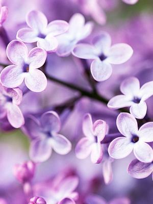 春天紫色的花朵手机壁纸