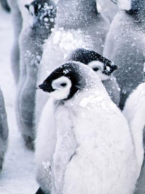 企鹅手机壁纸