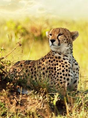 猎豹稀树草原非洲移动壁纸