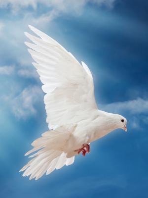 鸽子和平天空鸽子白色移动壁纸