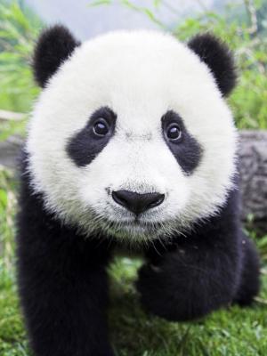 熊猫婴儿互动手机壁纸