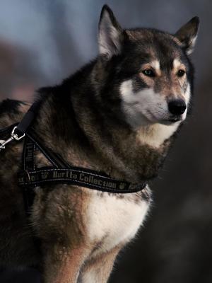 动物狗宠物毛皮手机壁纸