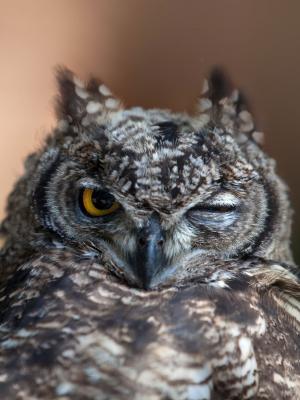 猫头鹰的眼睛移动壁纸