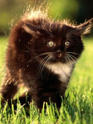 黑色蓬松Kitty的移动壁纸