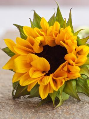 太阳花瓣花颜色手机壁纸