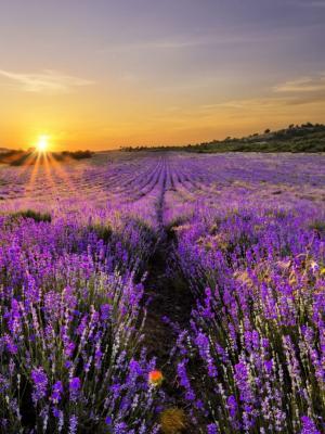 日出在淡紫色移动墙纸的领域