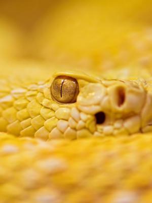 白化响尾蛇手机壁纸