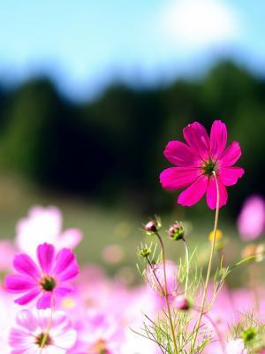粉红色的波斯菊花朵手机壁纸