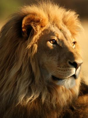 男性非洲狮子手机壁纸