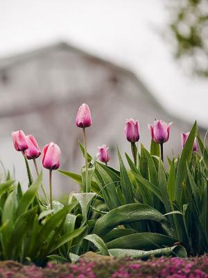 花粉色郁金香露水手机壁纸