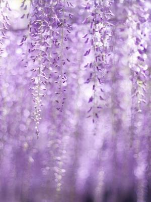 春天紫藤花朵手机壁纸