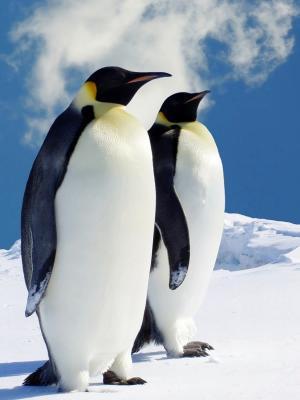 Hq企鹅手机壁纸