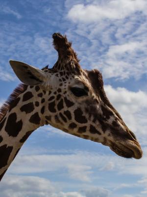动物非洲长颈鹿移动壁纸