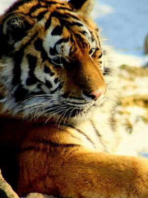 老虎捕食者手机壁纸