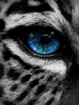 豹子蓝眼睛手机壁纸