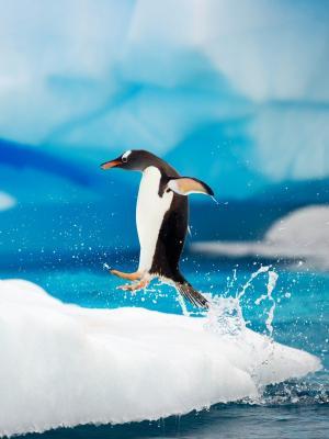 Gentoo企鹅南极洲手机壁纸