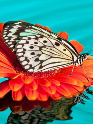 蝴蝶滴下手机壁纸