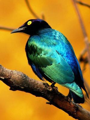 蓝鸟移动壁纸