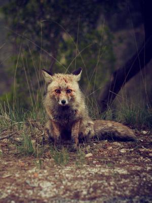 森林动物荒野狐狸手机壁纸