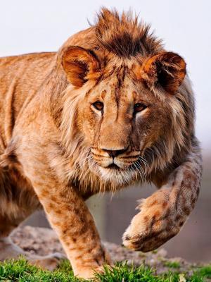 狮子手机壁纸