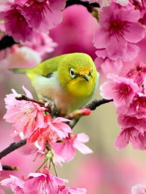可爱的日本白眼鸟手机壁纸