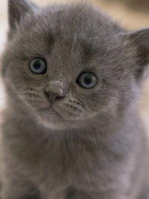 灰猫手机壁纸