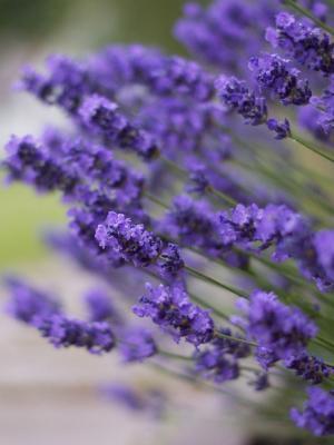 紫色的薰衣草花朵手机壁纸