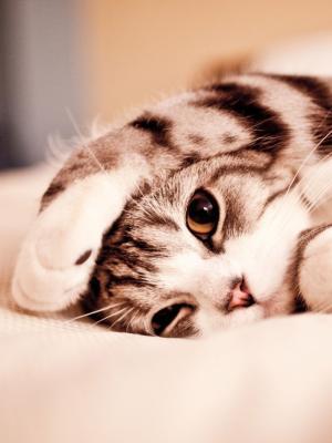 猫在床上移动壁纸