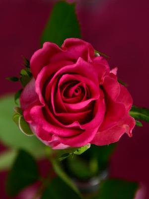 花玫瑰红玫瑰布卢姆移动壁纸