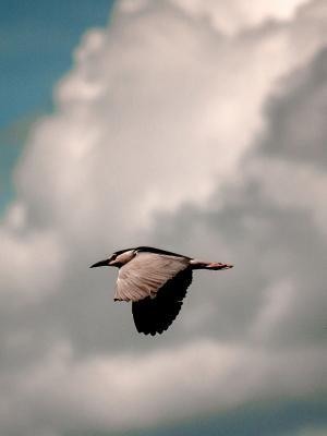 云 - 鸟飞行手机壁纸