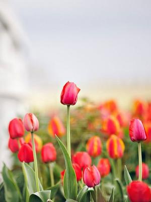 篱笆郁金香花朵手机壁纸