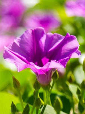 紫罗兰色花朵手机壁纸