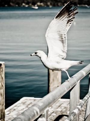 海鸥手机壁纸