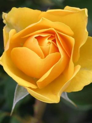 花玫瑰布卢姆开花手机壁纸
