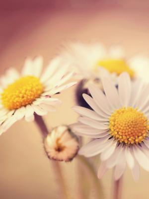 白色的雏菊移动壁纸
