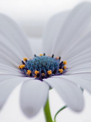 白色Osteospermum花手机壁纸