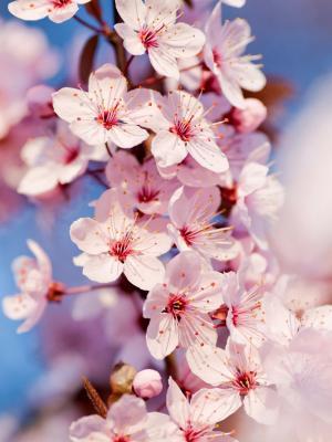 樱花手机壁纸