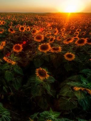 日出花移动壁纸