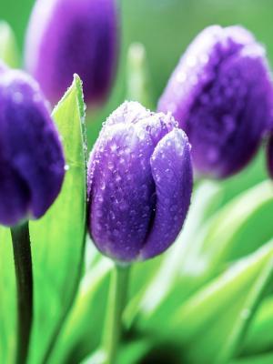 郁金香花紫色手机壁纸