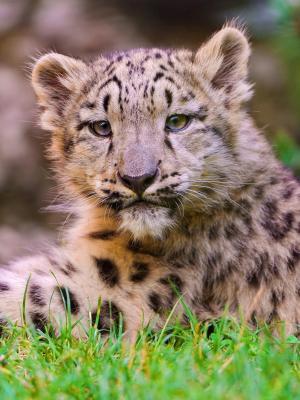 豹子Cub移动壁纸