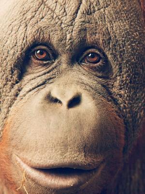 猩猩手机壁纸