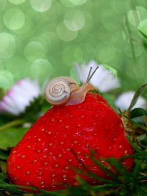 草莓手机壁纸上