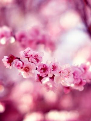 春天樱桃花朵手机壁纸
