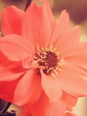 红色花朵手机壁纸