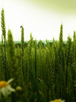 绿色麦田移动壁纸
