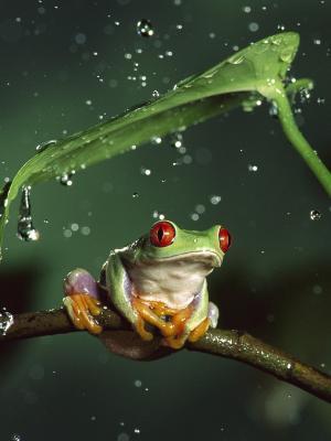 红眼雨蛙移动壁纸