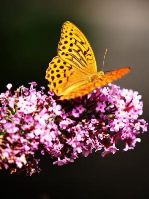 蝴蝶在植物园移动壁纸
