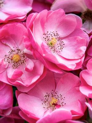 美丽的野玫瑰移动壁纸
